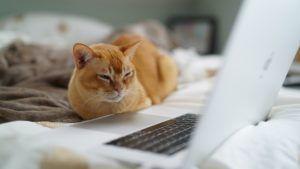 chat roux devant un ordinateur portable
